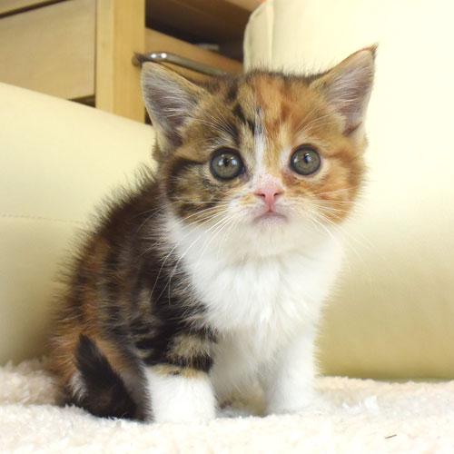 エキゾチックの子猫