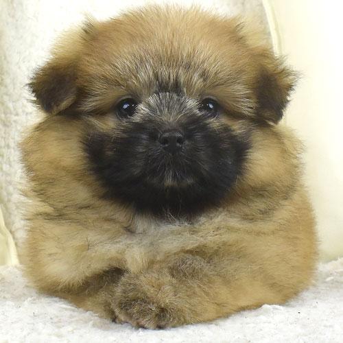 シーポメの子犬
