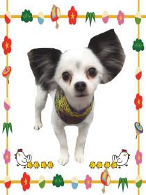 チワワのトリミング犬