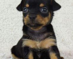 チワピンの子犬