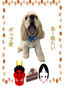 アメリカンコッカースパニエルのトリミング犬