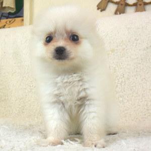 ポメラニアンの子犬