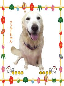ゴールデンレトリーバーのトリミング犬