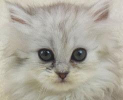 チンチラの子猫