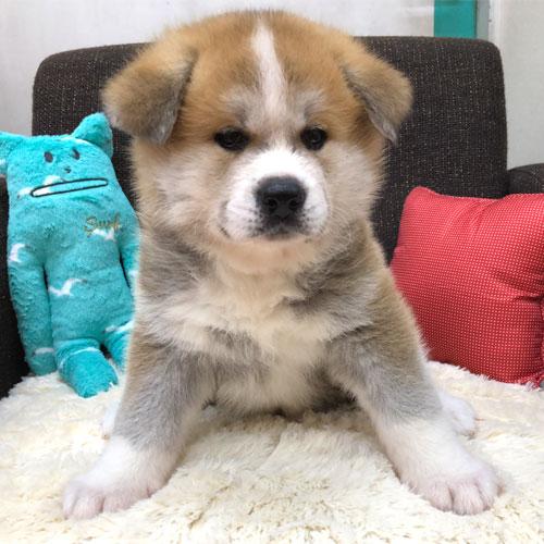 秋田犬の子犬