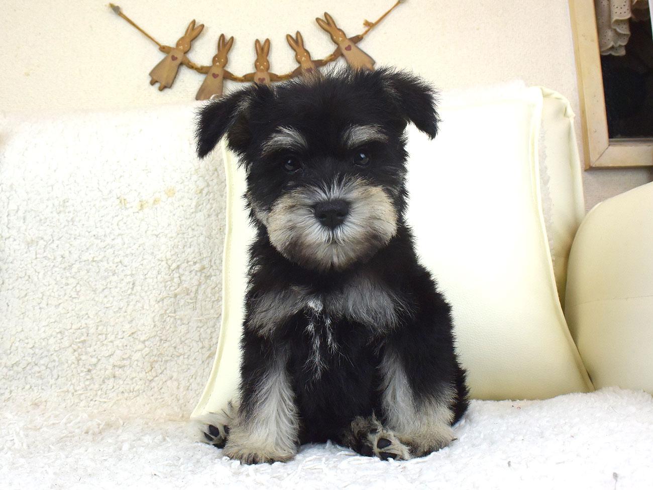 譲渡 ミニチュア シュナウザー 子犬