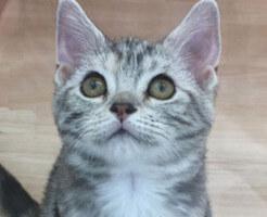 アメリカンショートヘアーの子猫