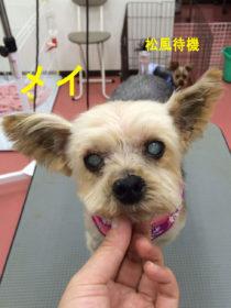 ヨークシャテリアのトリミング犬