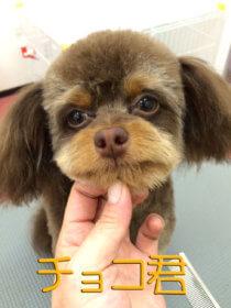 チワプーのトリミング犬