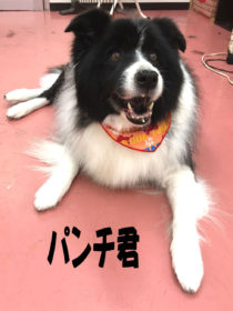 ボーダーコリーのトリミング犬