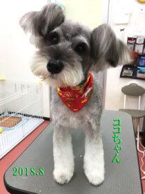 ミニチュアシュナウザーのトリミング犬
