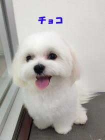 マルチーズのトリミング犬