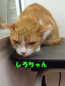 ネコちゃんのトリミング