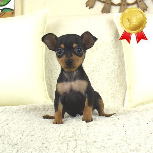 ミニチュアピンシャーの子犬