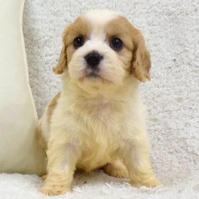 キャバリーゼの子犬