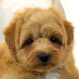 ポメプーの子犬