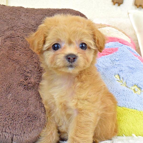 チワプーの子犬
