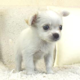 チワワの子犬