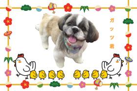 シーズーのトリミング犬