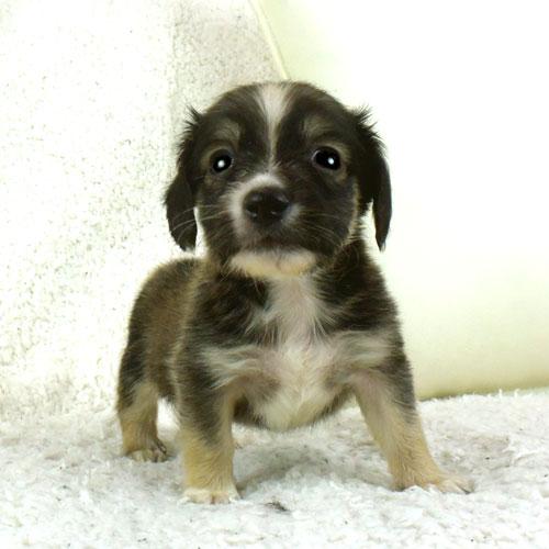 チワックスの子犬