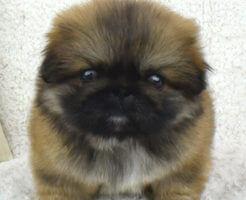 ペキニーズの子犬