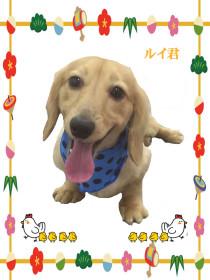 ダックスフンドのトリミング犬
