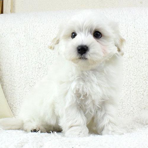 マルプーの子犬