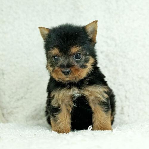ヨークシャテリアの子犬