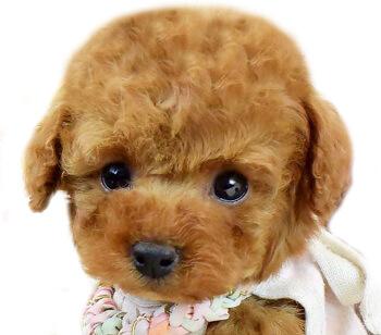 トイプードルの子犬の写真