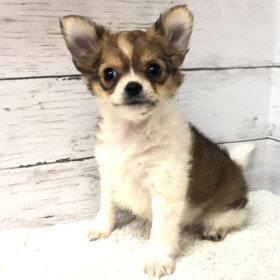 ロングコートチワワの子犬堺市ペットショップ