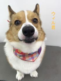 コーギーのトリミング犬