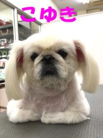 ペキニーズのトリミング犬