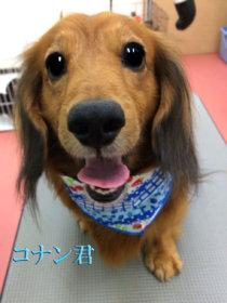 ミニチュアダックスフンドのトリミング犬
