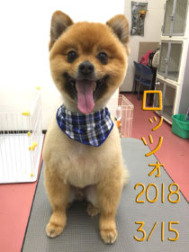 ポメラニアンのトリミング犬