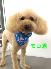 プードルのトリミング犬