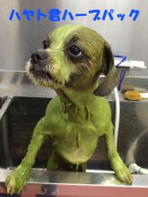 ハーブパック施術中ミックス犬