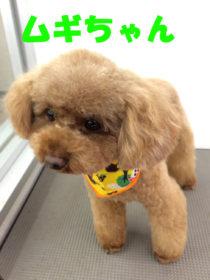 トイプードルのトリミング犬