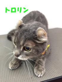 アメリカンカールのトリミング猫