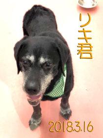 ラブラドールレトリーバーのトリミング犬