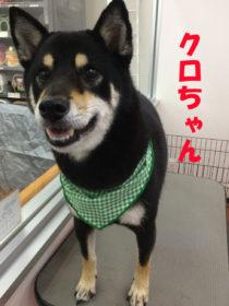 柴犬のトリミング犬