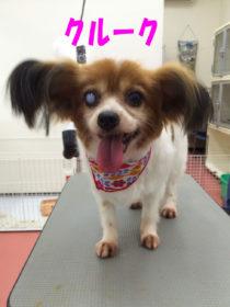 パピヨンのトリミング犬