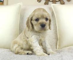 アメリカンコッカースパニエルの子犬