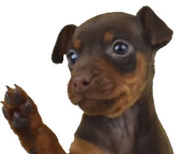 ミニチュアピンシャーの子犬の写真